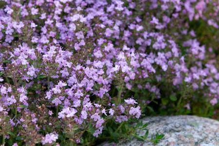 Cubierta vegetal floreciente tomillo de flores púrpuras arrastrándose sobre una cama en el jardín, cose, enfoque selectivo suave. Foto de archivo
