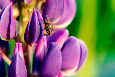 Beautiful violet lupine close-up. With a fly Banco de Imagens