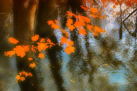 Branche d'érable avec des feuilles d'automne rouges sur fond d'eau dans une forêt inondée