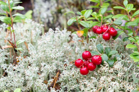 Bunch of lingonberries on a branch in the forest surrounded by white moss Imagens