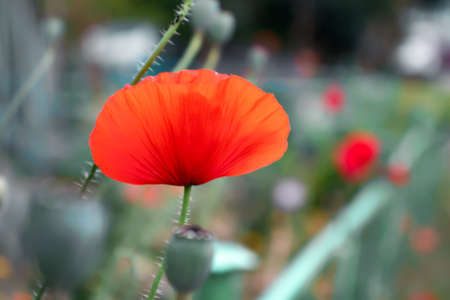 Red poppy flower on a flowerbed in the garden. Stock Photo