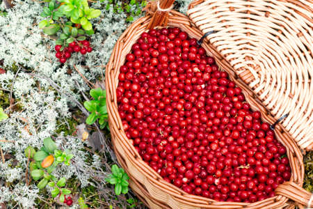 Lingonberry in the forest in a wicker basket with a lid, close up, top view