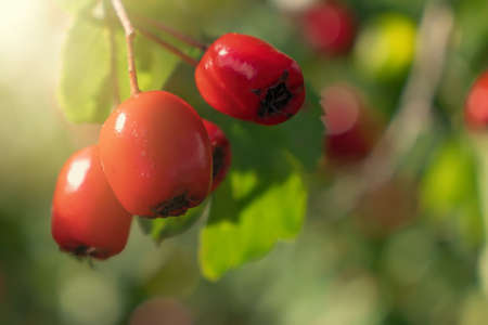 Bunch of ripe red berries of hawthorn, close up