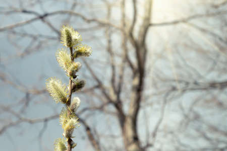Close-up of pussy-willow branch with open earrings in spring forest Stock fotó