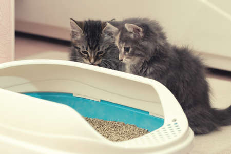 Two cute kittens are sitting near their litter box. Training kittens to the toilet Archivio Fotografico