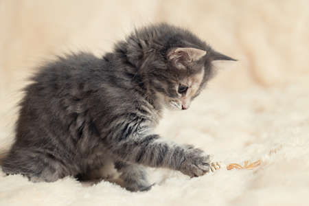 Gray kitten plays on a fur blanket with a toy, copy space