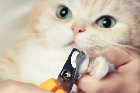 Cutting the claws of a cute creamy British cat. Pet care, grooming concept