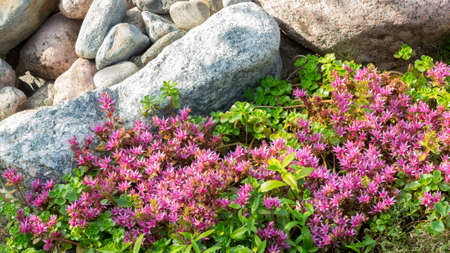 Flowering plants in a small rockery in the summer garden. Blooming pink stonecrop, sedum, close up