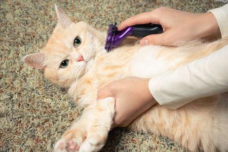 Furminator combing a cute creamy British cat. Pet care, grooming concept Stok Fotoğraf