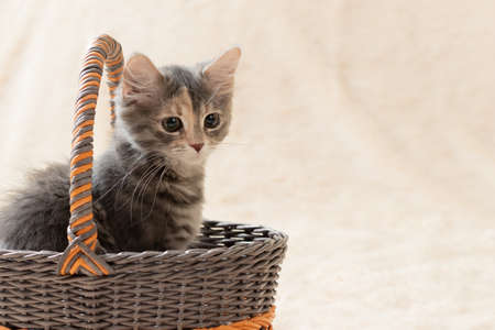 Cute gray kitten sits in a wicker basket on a background of a cream fur plaid, copy space