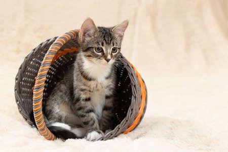 Cute gray tabby kitten sits in a wicker basket on a background of a cream fur blanket, copy space