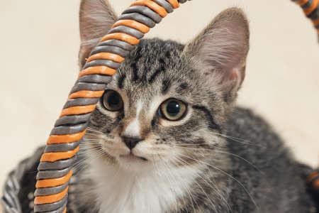 Cute gray tabby kitten sits in a wicker basket on cream background