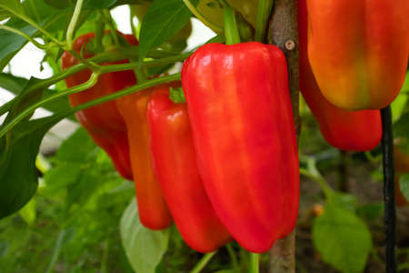 Several red sweet peppers ripen on a bush in a greenhouse, close up