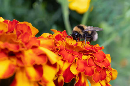 Bumblebee collects nectar from a marigold flower on a flowerbed in a summer garden Stok Fotoğraf