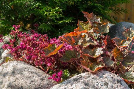 Plants in a small rockery in the summer garden. Blooming pink stonecrop, sedum
