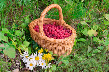 Wicker basket with fresh forest raspberries on the edge of the forest with a bouquet of wildflowers