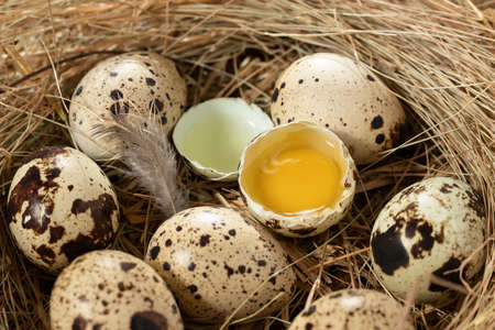 Several quail eggs in a decorative nest made of straw on a wooden table close-up