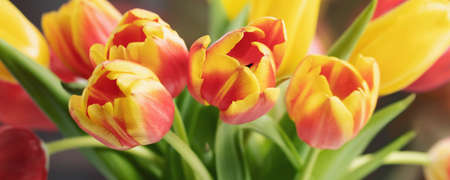 Red and yellow tulips in a bouquet close up, horizontal banner