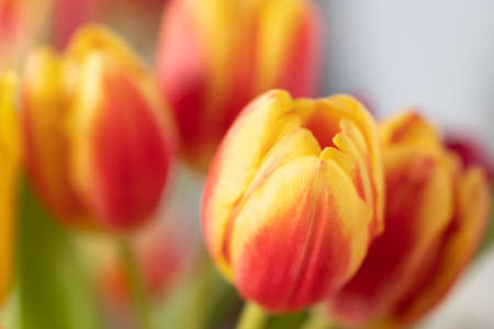 Red and yellow tulips in a bouquet close up