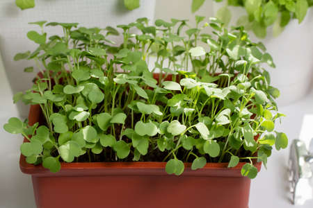 Arugula grow in pots on the windowsill. Growing healthy vitamin greens at home.