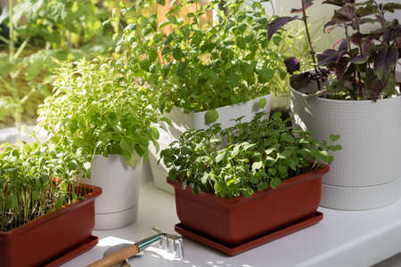 Various edible greens grow in pots on the windowsill. Growing healthy vitamin greens at home