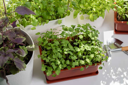Arugula and other edible herbs grow in pots on the windowsill.
