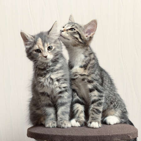 Two cute gray kittens playing on cat furniture at home