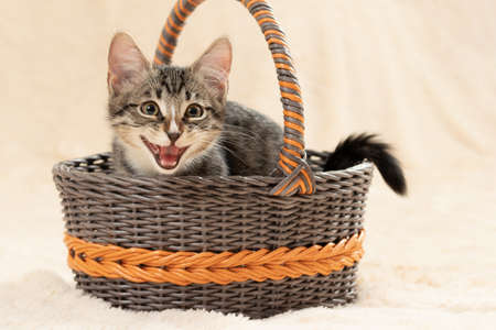 Cute gray kitten meows while sitting in a wicker basket on a background of a cream fur plaid 免版税图像