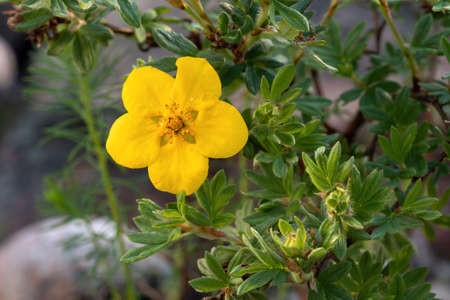 Yellow flower of Potentilla shrub in the garden close up