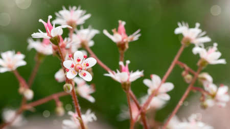 Blooming flowers of saxifrage umbrosa in the summer garden close-up