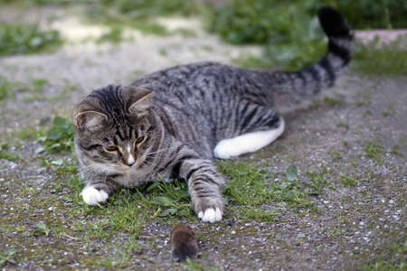 Gray striped young cat lies in the yard with a caught mouse 写真素材