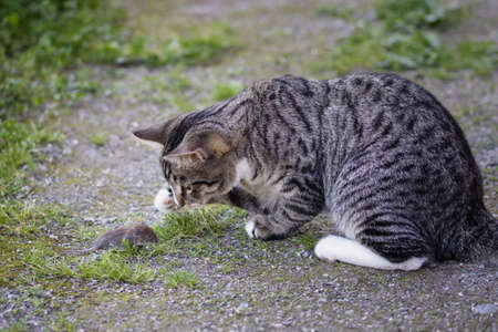Gray striped young cat catches a mouse in the yard
