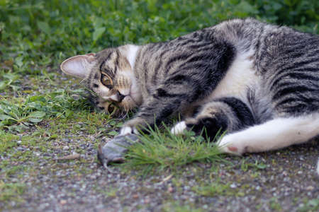 Gray striped young cat lies in the yard with a caught mouse Banque d'images