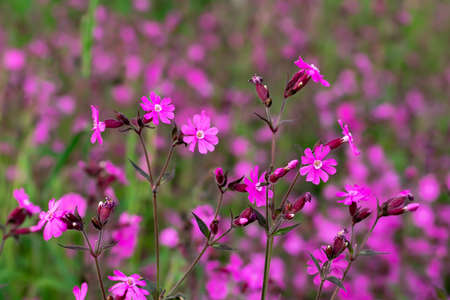 Flowers of a perennial plant Silene dioica known as Red campion or Red catchfly on a forest edge