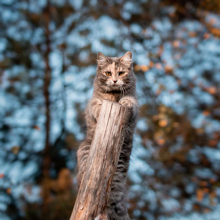 Cute gray cat climbed on a log on a walk and looks directly at the camera