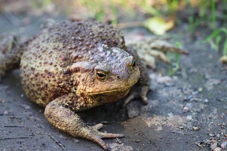 Big fat toad crawling along a dirt path 免版税图像