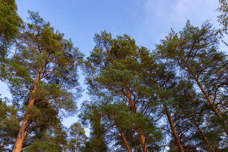 Tops of a pine tree against the blue sky in the rays of the setting sun