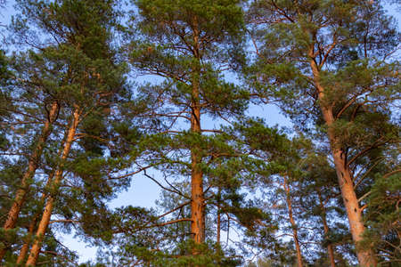Beautiful pine trees against the blue sky in the rays of the setting sun