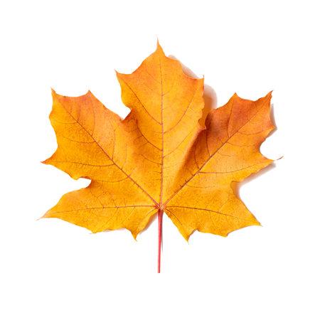 Yellow-orange maple leaf isolated on white background