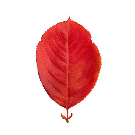 Red autumn oval leaf isolated on white background 免版税图像