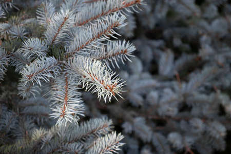 Branch of blue spruce close up, selective focus