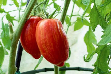 Ripe elongated striped tomatoes on a bush in a greenhouse 免版税图像