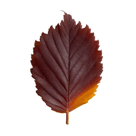 Dark red autumn oval leaf isolated on white background 免版税图像