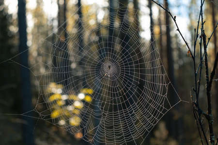 Close-up of a round spider web with a spider in the center in the forest.
