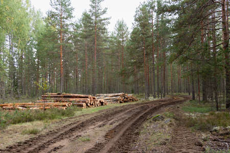 Logging. Sawed pine logs stacked in the forest, near the road