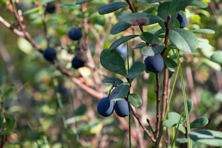 Ripe forest blueberries growing on a bush