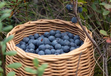 Ripe blueberries in a wicker basket in a summer forest 免版税图像