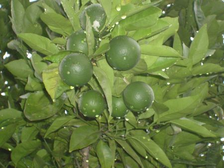 A branch of a lemon tree, supporting a group of newborn lemons after a shower of rain