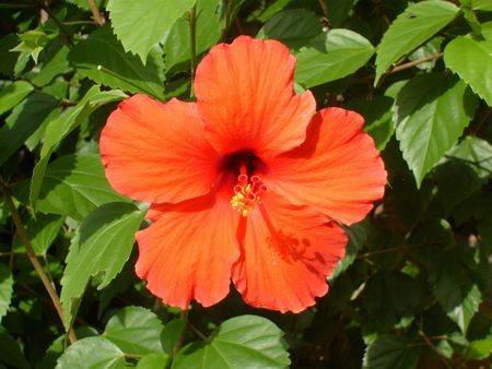 A red hibiscus flower fully bloomed on its bush in the summer sun