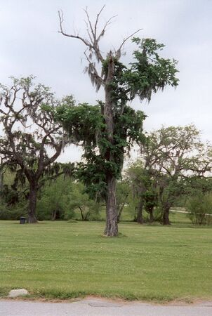 Tall tree near the swamps in Louisiana, bearing spanish moss Stock Photo - 1298645